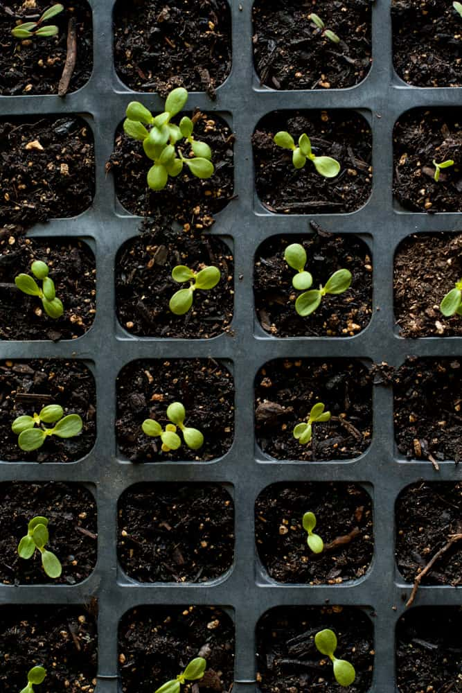 Tiny Garden Seedlings